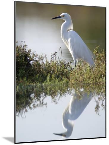 Snowy Egret (Egretta Thula) in the Los Cerritos Wetlands-Rich Reid-Mounted Photographic Print