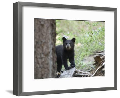 American Black Bear (Ursus Americanus) First Year Cub-Rich Reid-Framed Art Print