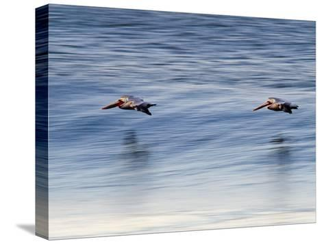 Pair of Brown Pelicans Flying at Sunrise-Rich Reid-Stretched Canvas Print