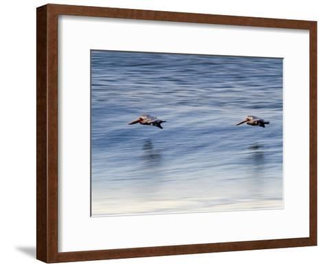 Pair of Brown Pelicans Flying at Sunrise-Rich Reid-Framed Art Print