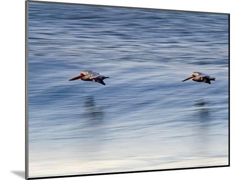 Pair of Brown Pelicans Flying at Sunrise-Rich Reid-Mounted Photographic Print