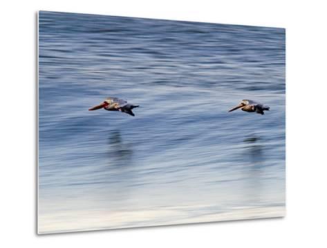Pair of Brown Pelicans Flying at Sunrise-Rich Reid-Metal Print