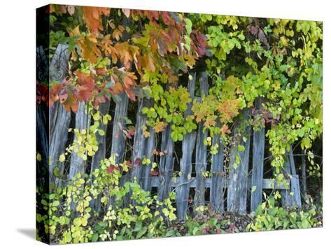 Fall Foliage around an Old Wooden Fence-Todd Gipstein-Stretched Canvas Print