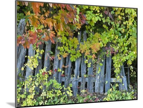 Fall Foliage around an Old Wooden Fence-Todd Gipstein-Mounted Photographic Print