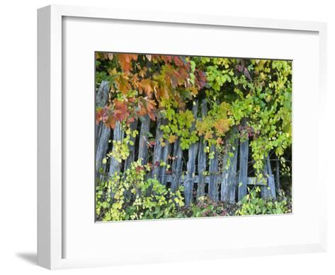 Fall Foliage around an Old Wooden Fence-Todd Gipstein-Framed Art Print