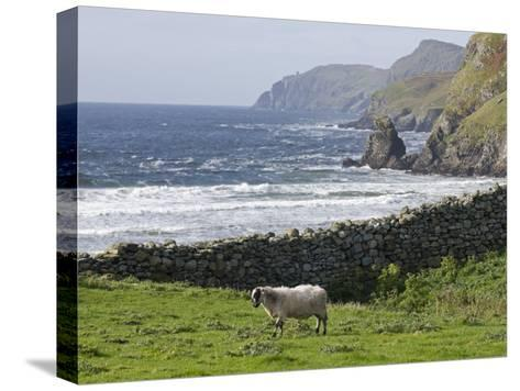 Rock Wall and a Scottish Blackface Sheep Along the Coast-Rich Reid-Stretched Canvas Print