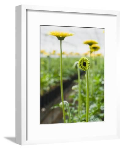 New Gerbera Daisy Flower Bud-James Forte-Framed Art Print