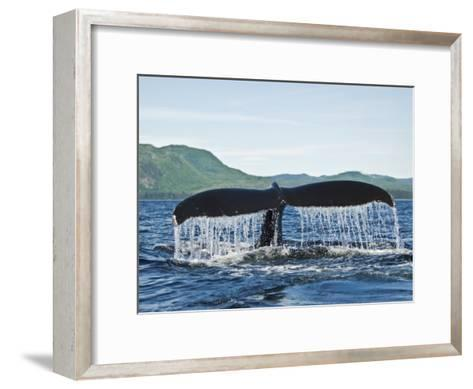 Humback Whale Diving with Tail Flukes Raised into the Air-James Forte-Framed Art Print