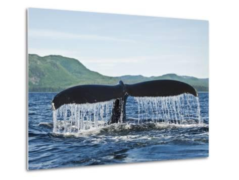 Humback Whale Diving with Tail Flukes Raised into the Air-James Forte-Metal Print