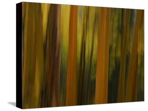 Close Up and Soft Focus of Aspen Trees in the Fall-Raul Touzon-Stretched Canvas Print