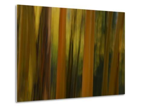 Close Up and Soft Focus of Aspen Trees in the Fall-Raul Touzon-Metal Print