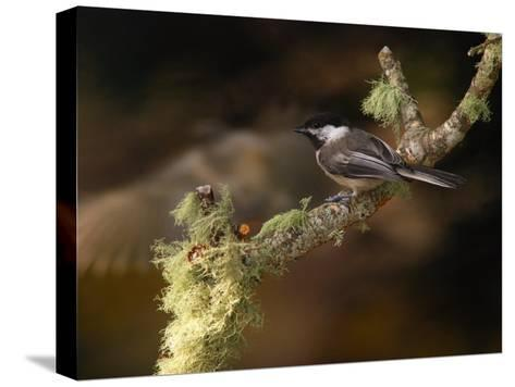 Black-Capped Chickadee, Parus Atricapillus, on Lichen-Covered Branch-Darlyne A^ Murawski-Stretched Canvas Print