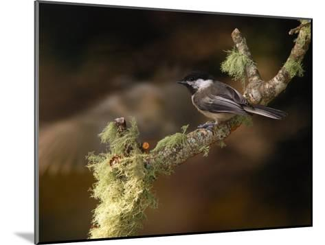 Black-Capped Chickadee, Parus Atricapillus, on Lichen-Covered Branch-Darlyne A^ Murawski-Mounted Photographic Print