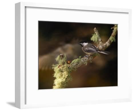 Black-Capped Chickadee, Parus Atricapillus, on Lichen-Covered Branch-Darlyne A^ Murawski-Framed Art Print