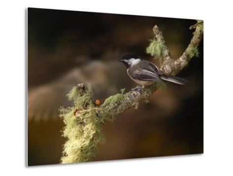 Black-Capped Chickadee, Parus Atricapillus, on Lichen-Covered Branch-Darlyne A^ Murawski-Metal Print