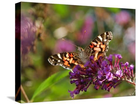 American Painted Lady Butterfly, Vanessa Virginiensis, on Flowers-Darlyne A^ Murawski-Stretched Canvas Print
