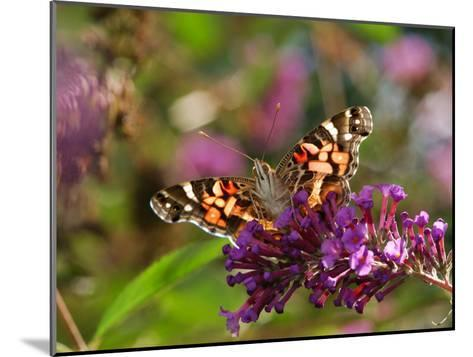 American Painted Lady Butterfly, Vanessa Virginiensis, on Flowers-Darlyne A^ Murawski-Mounted Photographic Print