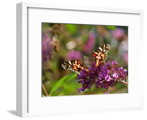 American Painted Lady Butterfly, Vanessa Virginiensis, on Flowers-Darlyne A^ Murawski-Framed Art Print