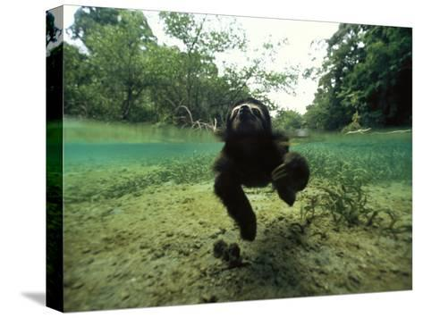 Pygmy Sloth Swimming in Coastal Panama Waters-Bill Hatcher-Stretched Canvas Print
