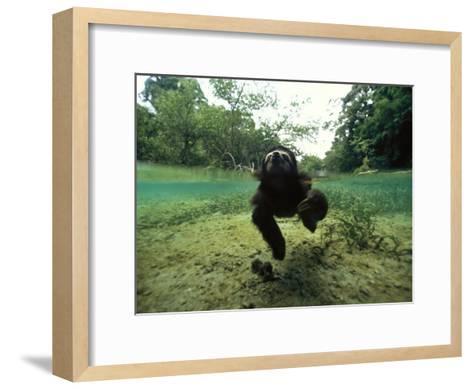 Pygmy Sloth Swimming in Coastal Panama Waters-Bill Hatcher-Framed Art Print