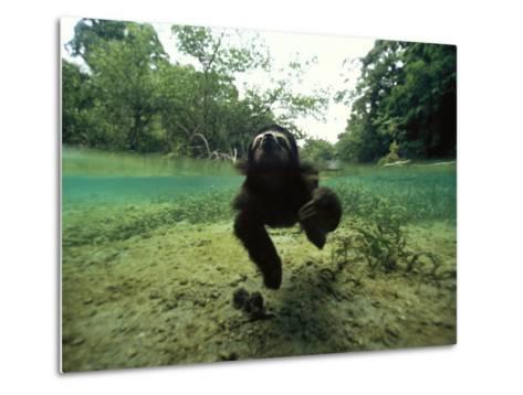 Pygmy Sloth Swimming in Coastal Panama Waters-Bill Hatcher-Metal Print