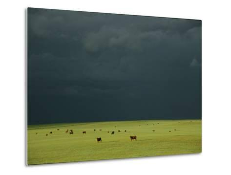 Ominous Storm Clouds Gather over a Field of Grazing Cattle-Peter Carsten-Metal Print