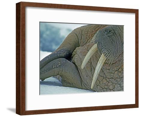 Walrus (Odobenus Rosmarus) on an Ice Floe in Bellsund Fjord-Gordon Wiltsie-Framed Art Print