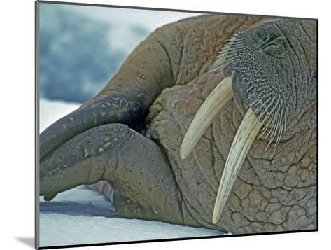 Walrus (Odobenus Rosmarus) on an Ice Floe in Bellsund Fjord-Gordon Wiltsie-Mounted Photographic Print