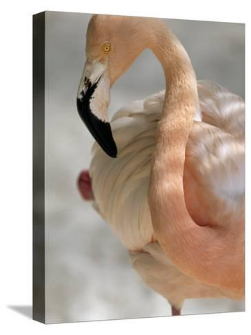 Beautiful Portrait of a Flamingo-Michael Melford-Stretched Canvas Print