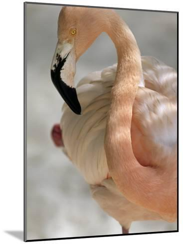 Beautiful Portrait of a Flamingo-Michael Melford-Mounted Photographic Print