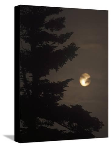 Setting Sun and a Silhouetted Spruce Tree in Fog-Raymond Gehman-Stretched Canvas Print