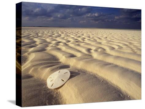 Sand Dollar Lies on a Sandy Beach-Michael Melford-Stretched Canvas Print
