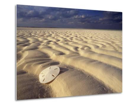Sand Dollar Lies on a Sandy Beach-Michael Melford-Metal Print