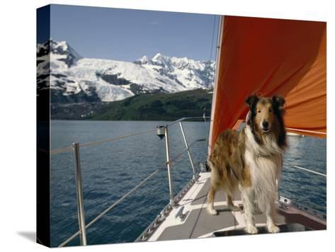 Collie Stands on the Bow of a Sailboat Near Snowy Mountains-Michael Melford-Stretched Canvas Print