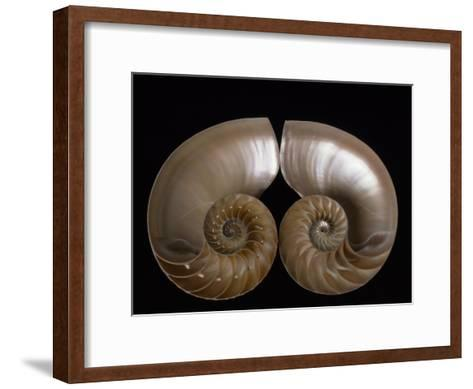 Nautilus Shell Cut in Half to Reveal Compartments-Michael Melford-Framed Art Print