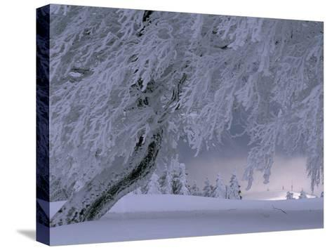 Snow-Blanketed Trees in a Fairy Tale Winter Landscape-Norbert Rosing-Stretched Canvas Print