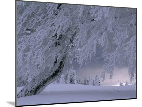 Snow-Blanketed Trees in a Fairy Tale Winter Landscape-Norbert Rosing-Mounted Photographic Print