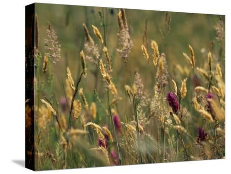 Colorful Seed Heads on Swaying Grasses-Norbert Rosing-Stretched Canvas Print