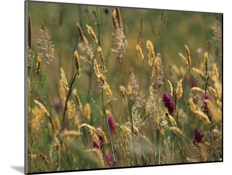 Colorful Seed Heads on Swaying Grasses-Norbert Rosing-Mounted Photographic Print