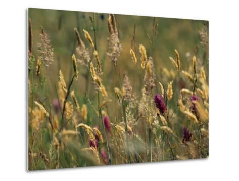 Colorful Seed Heads on Swaying Grasses-Norbert Rosing-Metal Print