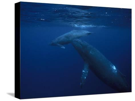 Mother and Calf Humpback Whales, Swimming in a Serene Blue Sea-Paul Sutherland-Stretched Canvas Print