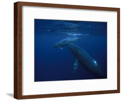 Mother and Calf Humpback Whales, Swimming in a Serene Blue Sea-Paul Sutherland-Framed Art Print