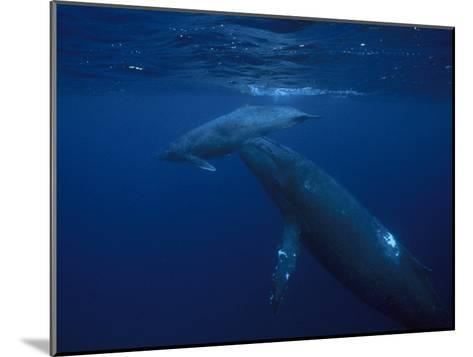 Mother and Calf Humpback Whales, Swimming in a Serene Blue Sea-Paul Sutherland-Mounted Photographic Print