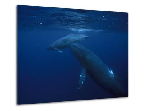 Mother and Calf Humpback Whales, Swimming in a Serene Blue Sea-Paul Sutherland-Metal Print