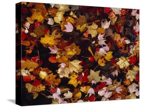 Red Maple Tree Leaves and Others Floating in Price Lake-Raymond Gehman-Stretched Canvas Print