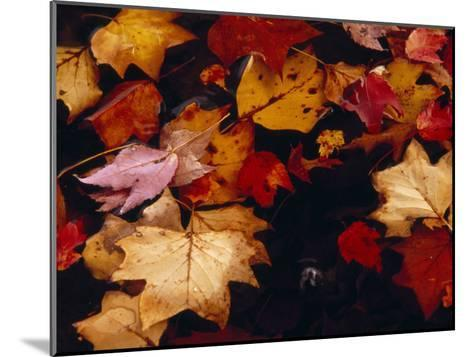 Red Maple Tree Leaves and Others Floating in Price Lake-Raymond Gehman-Mounted Photographic Print