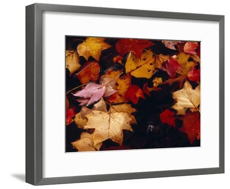 Red Maple Tree Leaves and Others Floating in Price Lake-Raymond Gehman-Framed Art Print
