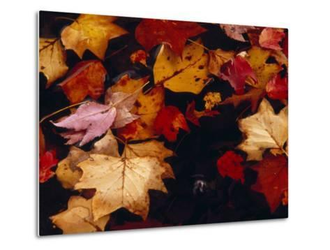 Red Maple Tree Leaves and Others Floating in Price Lake-Raymond Gehman-Metal Print