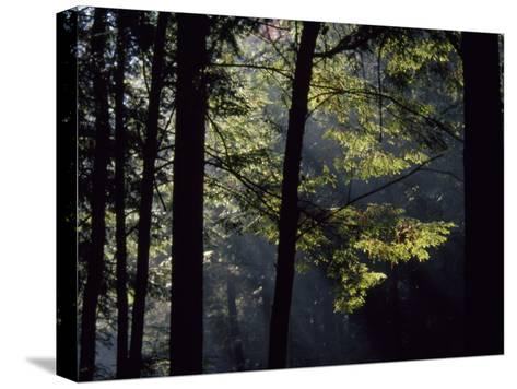 Morning Sun Peaks Through Hemlock Trees Along Paint Creek-Raymond Gehman-Stretched Canvas Print
