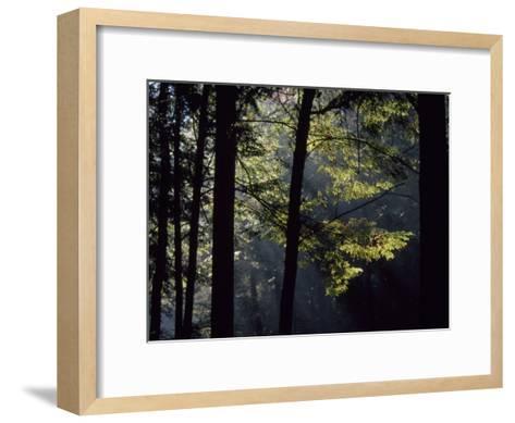 Morning Sun Peaks Through Hemlock Trees Along Paint Creek-Raymond Gehman-Framed Art Print